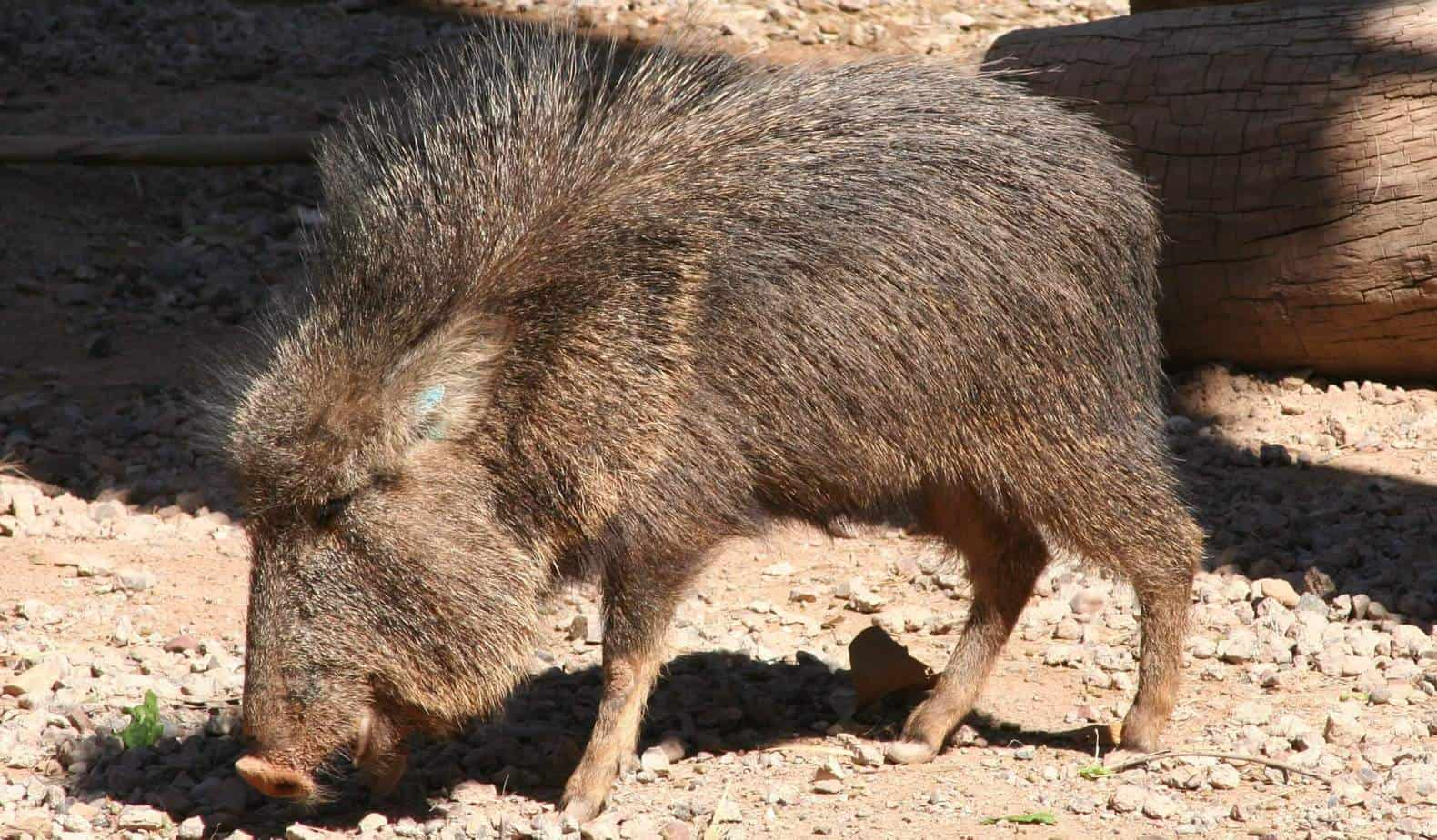 What Is Peccary Leather?