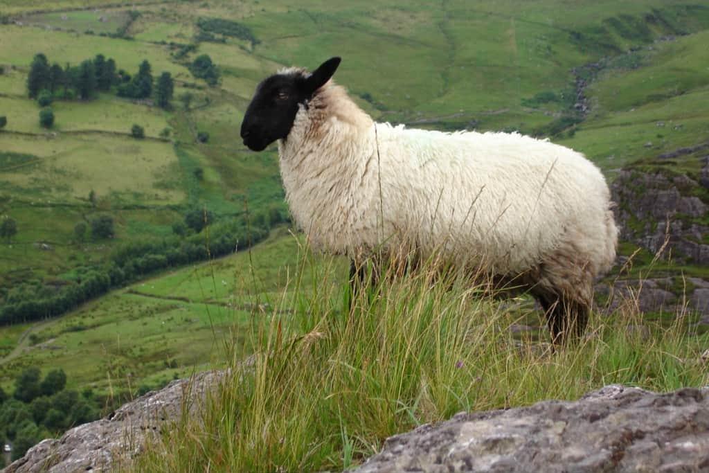 A sheep posing in Ireland