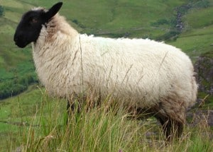 A sheep posing in Ireland